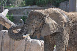 CMZoo African elephant
