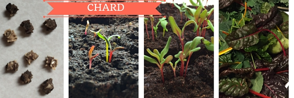 chard from seed to table